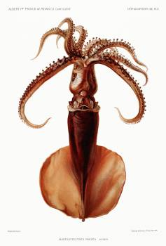 Squid illustration from Résultats des Campagnes Scientifiques by Albert I, Prince of Monaco (1848–1922). Original from Biodiversity Heritage Library.  #384258