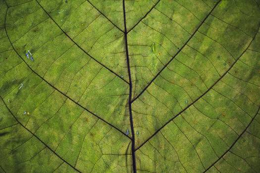 Closeup of green leaf with veins #384326