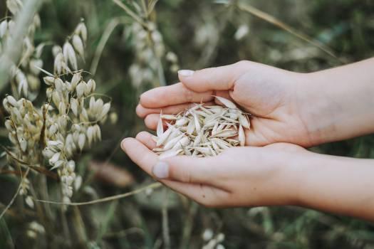 Farmer holding harvested oats #384345