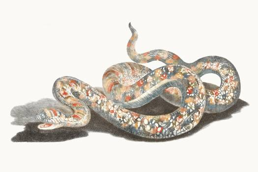 A snake by Johan Teyler (1648-1709). Original from The Rijksmuseum.  Free Photo