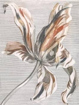 Tulip by Johan Teyler (1648-1709). Original from The Rijksmuseum.  Free Photo