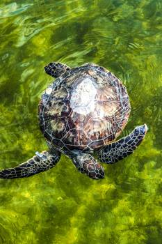 An endangered green sea turtle is released into the Mosquito Lagoon. Original from NASA.  Free Photo