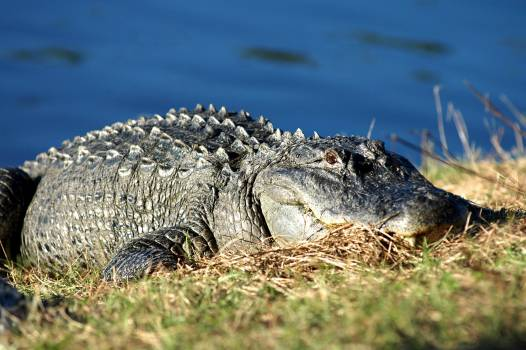 An alligator suns itself on the bank of a pond. Original from NASA.  #385126