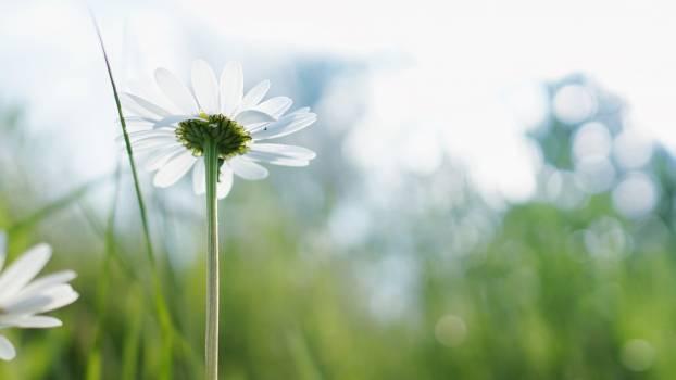 White Petaled Flower #38517