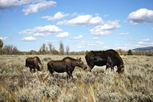 Moose graze in Grand Teton National Park in northwest Wyoming. Original image from Carol M. Highsmith's America, Library of Congress collection.  #385626