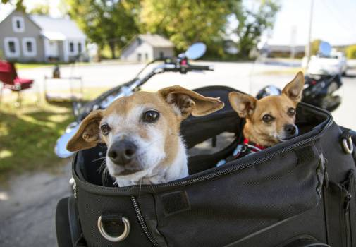 Two dogs, Jesse and Maude, await the next portion of their ride in the back of a motorcycle in South Hero, Vermont. Original image from Carol M. Highsmith's America, Library of Congress collection.  #385639