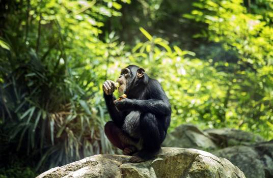 Chimpanzee at the North Carolina Zoological Park in Asheboro, North Carolina. Original image from Carol M. Highsmith's America, Library of Congress collection.  #385657