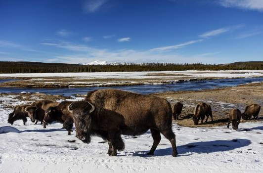 American bison, or buffaloes, in Yellowstone National Park in the northwest corner of Wyoming. Original image from Carol M. Highsmith's America, Library of Congress collection.  #385706