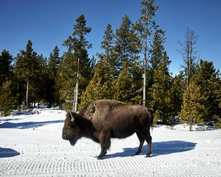American bison, or buffaloes, in Yellowstone National Park in the northwest corner of Wyoming. Original image from Carol M. Highsmith's America, Library of Congress collection.  #385708