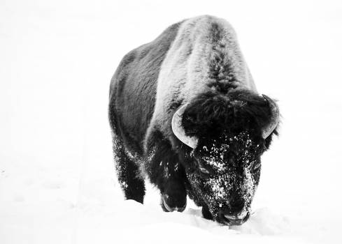 American bison, or buffaloes, in Yellowstone National Park in the northwest corner of Wyoming. Original image from Carol M. Highsmith's America, Library of Congress collection.  #385718