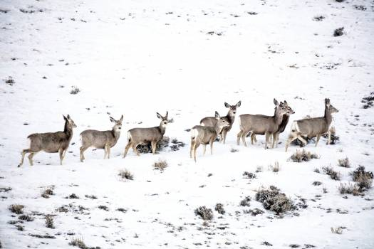 Mule deer gather on a snowy hillside in Sweetwater County, Wyoming. Original image from Carol M. Highsmith's America, Library of Congress collection.  #385720
