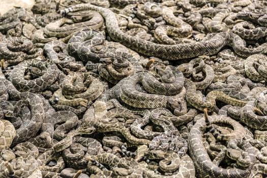 """A literal pit of vipers at the """"World's Largest Rattlesnake Roundup"""" in Sweetwater, Texas. Original image from Carol M. Highsmith's America, Library of Congress collection.  #385793"""