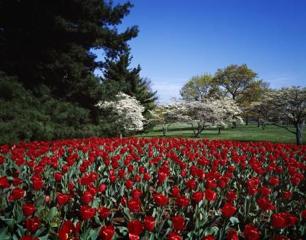 Spring tulips and dogwoods on the George Washington Memorial Parkway. Original image from Carol M. Highsmith's America, Library of Congress collection.  #385903