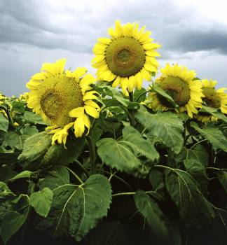 Sunflowers in Nebraska. Original image from Carol M. Highsmith's America, Library of Congress collection.  #385943