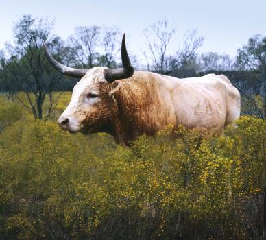 The State of Texas raises longhorn cattle at Abilene State Historical Park on the site of old Fort Griffin. Original image from Carol M. Highsmith's America, Library of Congress collection.  Free Photo