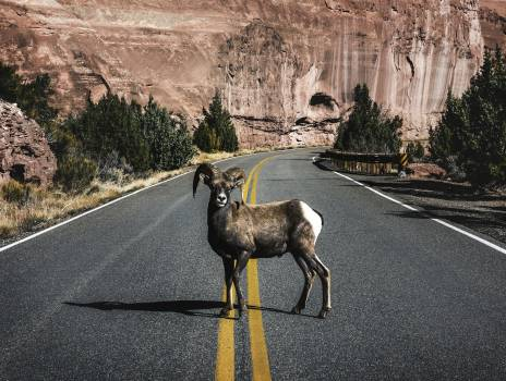 A bighorn sheep in Colorado National Monument, a preserve of vast plateaus, canyons, and towering monoliths in Mesa County, Colorado, near Grand Junction. Original image from Carol M. Highsmith's America, Library of Congress collection.  #386027