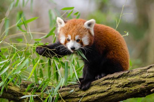 Red Panda Eating Green Leaf on Tree Branch during Daytime #38609