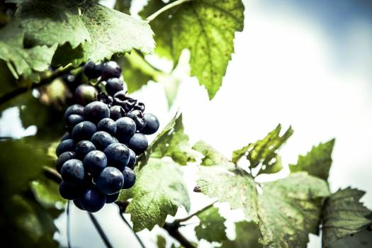 Dark grapes hanging from the vine tree Free Photo