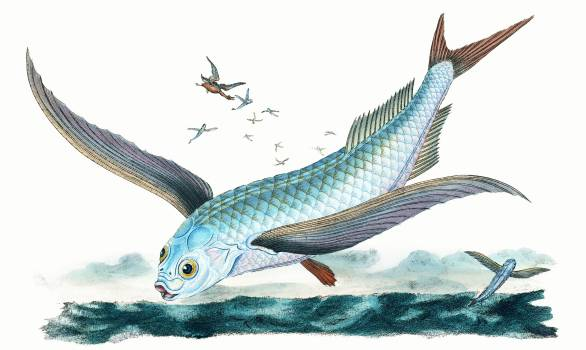 Flying-fish (Exocoetus Volitans) illustration from The Natural History of British Fishes (1802) by Edward Donovan (1768-1837). Original from The New York Public Library.  #386431