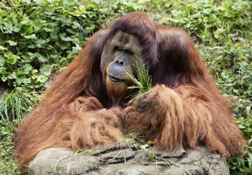 Orangutan at the Cincinnati Zoo and Botanical Garden. Original image from Carol M. Highsmith's America, Library of Congress collection.  #386687