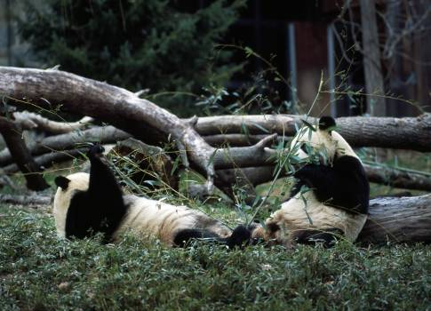 Giant pandas, the star attraction at the Smithsonian Institution's National Zoo. Original image from Carol M. Highsmith's America, Library of Congress collection.  #386752