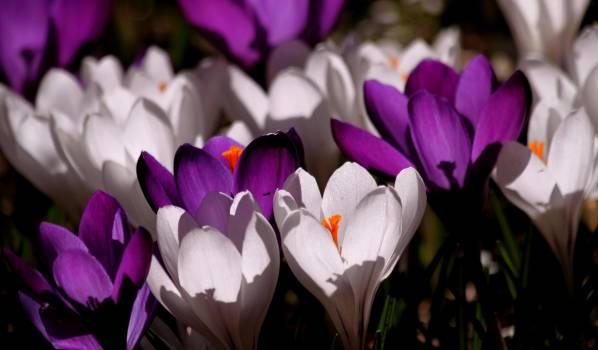 White Purple Crocus Flower during Daytime #38683