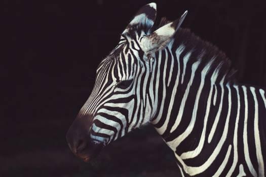 Zebra Animal Free Photo