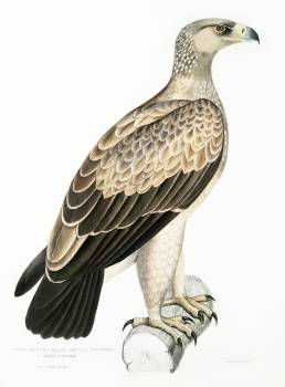 White Dotted Eagle (Aquila punctata) from Illustrations of Indian zoology (1830-1834) by John Edward Gray (1800-1875). Original from The New York Public Library.  Free Photo