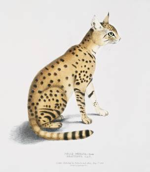 Beautiful Cat (Felis ornata) from Illustrations of Indian zoology (1830-1834) by John Edward Gray (1800-1875). Original from The New York Public Library.  #387080