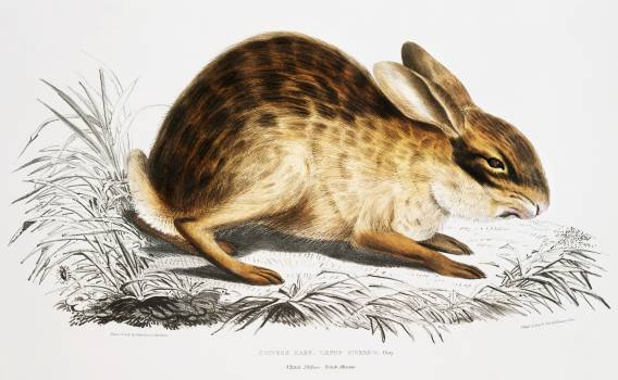 Chinese Hare (Lepus Sinensis) from Illustrations of Indian zoology (1830-1834) by John Edward Gray (1800-1875). Original from The New York Public Library.  Free Photo