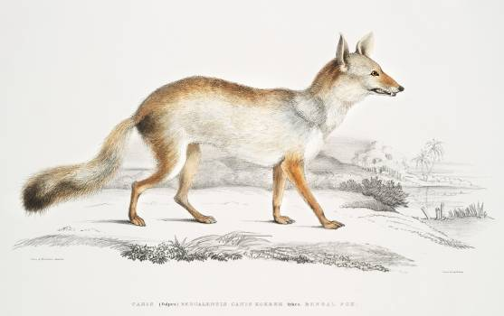 Bengal Fox (Vulpes Bengalensis) from Illustrations of Indian zoology (1830-1834) by John Edward Gray (1800-1875). Original from The New York Public Library.  #387103
