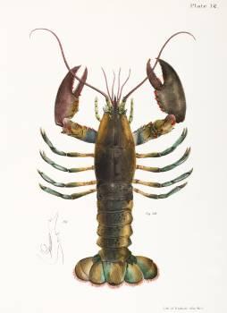 52. & 53. American lobster (Homarus americanus) illustration from Zoology of New york (1842 - 1844) by James Ellsworth De Kay (1792-1851). #387120