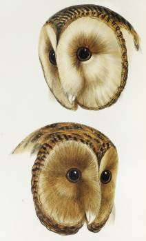 1. Masked barn owl (Strix personata) 2. Tasmanian masked owl (Strix castanops) illustrated from A Synopsis of the Birds of Australia and the Adjacent Islands (1837) by John Gould (1804-1881). Free Photo