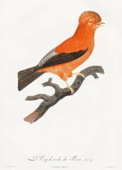 Andean cock-of-the-rock from Histoire Naturelle des Oiseaux de Paradis et Des Rolliers (1806) by Jacques Barraband (1767-1809). Original from The New York Public Library.  #387154