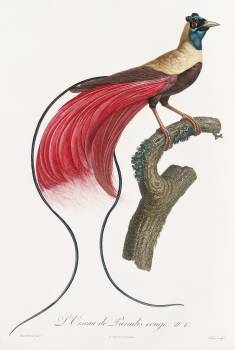 Red bird of paradise from Histoire Naturelle des Oiseaux de Paradis et Des Rolliers (1806) by Jacques Barraband (1767-1809). Original from The New York Public Library.  Free Photo