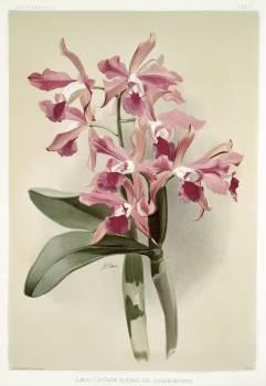 Lælio-cattleya elegans var blenheimensis from Reichenbachia Orchids (1888-1894) illustrated by Frederick Sander (1847-1920). Original from The New York Public Library.  #387186