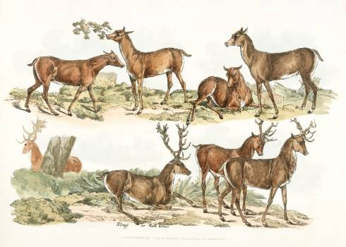 Illustration of hinds; stags or red deer from Sporting Sketches (1817-1818) by Henry Alken (1784-1851). Original from The New York Public Library.  #387203