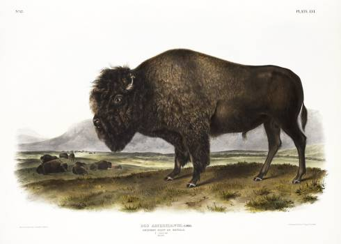 American Bison (Bos Americanus) from the viviparous quadrupeds of North America (1845) illustrated by John Woodhouse Audubon (1812-1862). Original from The New York Public Library.  Free Photo