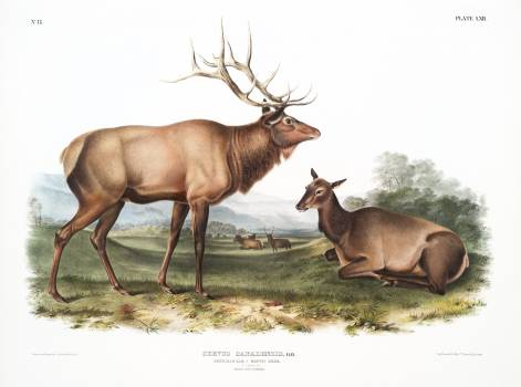 American Elk (Cervus Canadensis) from the viviparous quadrupeds of North America (1845) illustrated by John Woodhouse Audubon (1812-1862). Original from The New York Public Library.  Free Photo