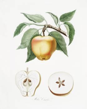 Carla Apple (Melo Carlo) from Pomona Italiana (1817 - 1839) by Giorgio Gallesio (1772-1839). Original from The New York Public Library.  Free Photo