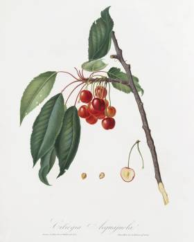 Cherry (Prunus avium) from Pomona Italiana (1817 - 1839) by Giorgio Gallesio (1772-1839). Original from The New York Public Library.  Free Photo