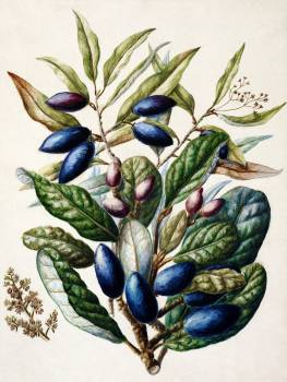 Antique plant Beilschmiedia Taiaire Tawa drawn by Sarah Featon (1848–1927). Original from Museum of New Zealand.  #387262