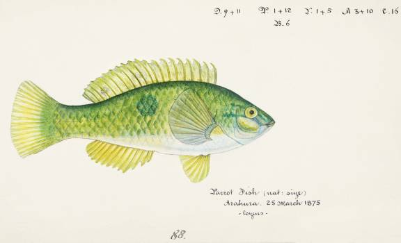 Antique fish Wrasse drawn by Fe. Clarke (1849-1899). Original from Museum of New Zealand.  Free Photo