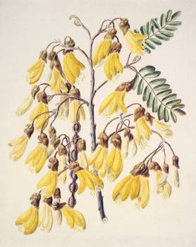 Antique plant Kowhai drawn by Sarah Featon (1848–1927). Original from Museum of New Zealand.  #387284