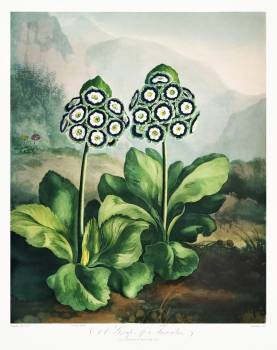 A Group of Auriculas from The Temple of Flora (1807) by Robert John Thornton. Original from Biodiversity Heritage Library.  Free Photo
