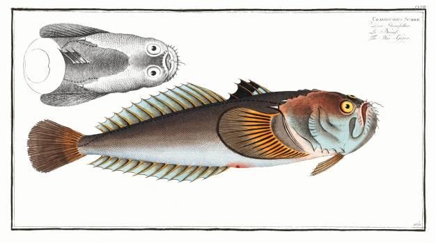 Star-Gazer (Uranoscopus Scaber) from Ichtylogie, ou Histoire naturelle: génerale et particuliére des poissons (1785–1797) by Marcus Elieser Bloch. Original from New York Public Library.  Free Photo