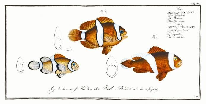 1. Tontelton (Anthias polymna) 2. Jordaine (Anthias bifasciatus) from Ichtylogie, ou Histoire naturelle: génerale et particuliére des poissons (1785–1797) by Marcus Elieser Bloch. Original from New York Public Library.  #387396