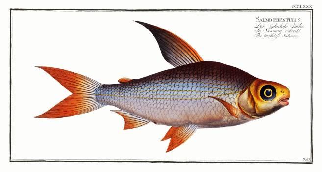 Toothless Salmon (Salmo edentulus) from Ichtylogie, ou Histoire naturelle: génerale et particuliére des poissons (1785–1797) by Marcus Elieser Bloch. Original from New York Public Library.  #387406