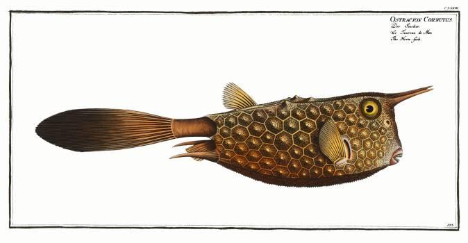 Horn-fish (Ostracion Cornutus) from Ichtylogie, ou Histoire naturelle: génerale et particuliére des poissons (1785–1797) by Marcus Elieser Bloch. Original from New York Public Library.  Free Photo