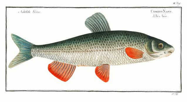 Nase-Carp (Cyprinus Nasus) from Ichtylogie, ou Histoire naturelle: génerale et particuliére des poissons (1785–1797) by Marcus Elieser Bloch. Original from New York Public Library.  Free Photo